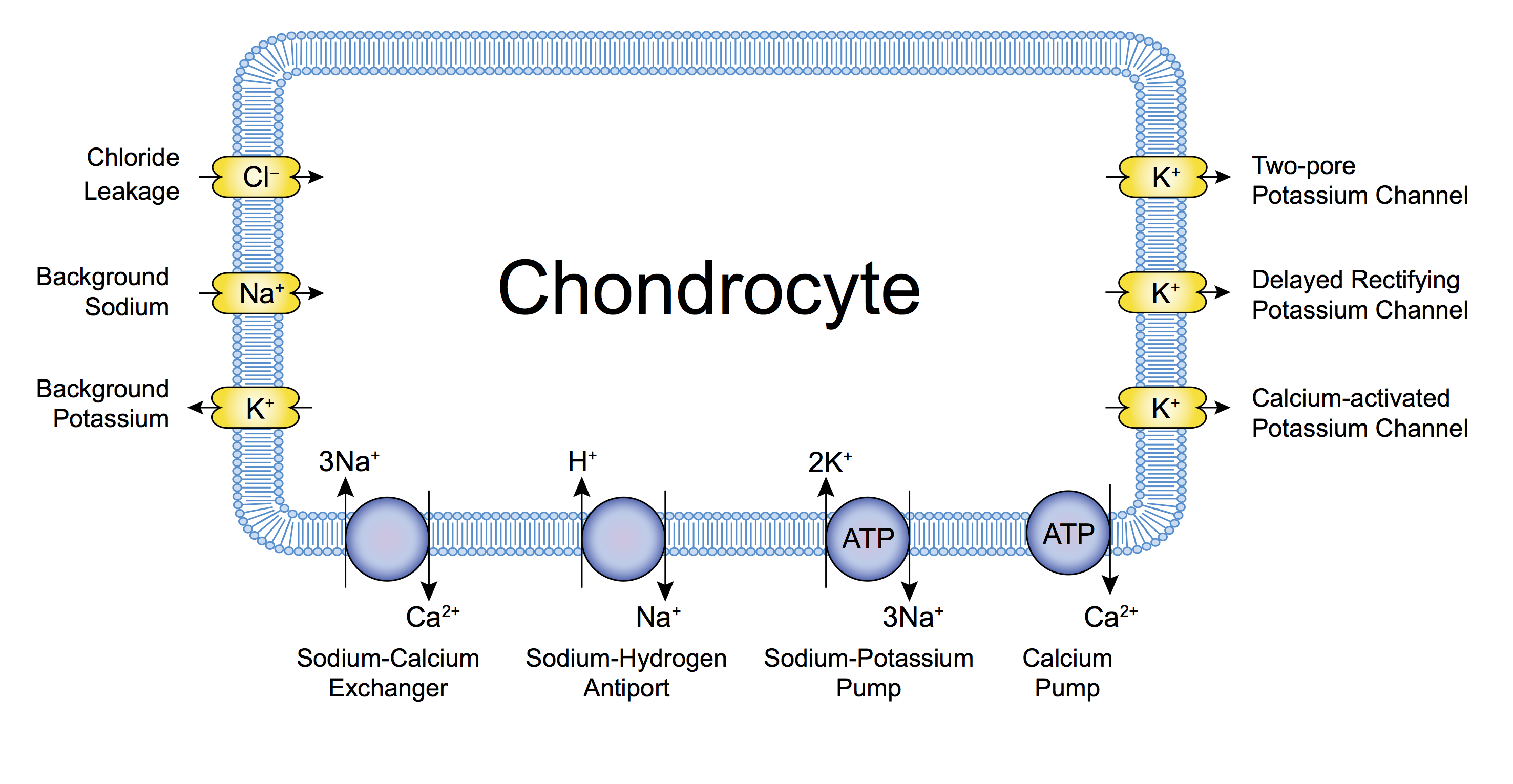A schematic of the ion channels in a single chondrocyte.